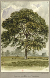 Young Oak, Landwade, Cambridgeshire, 1848